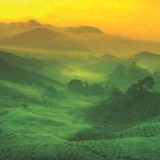Tea plantations - taken from 'The Little Book of Tea